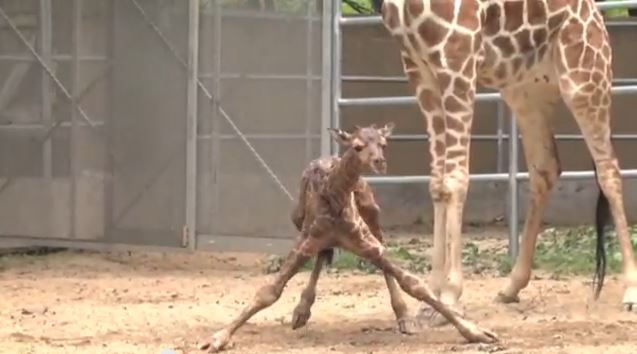 giraffe takes first steps